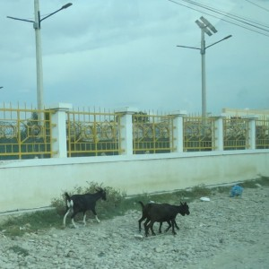 "Goats running along the road across from the US Embassy. Guess you could call it ""local color."""