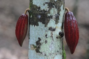 This is how cacao grows